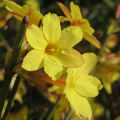 Jasminum nudiflorum V18