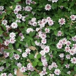 Phyla nodiflora vaso 14