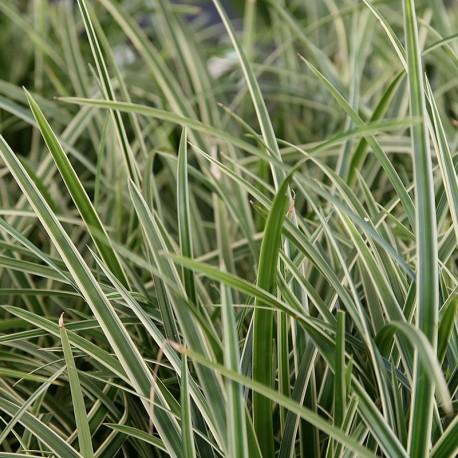 Carex morrowii 'ice dance' V 14